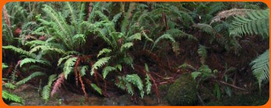 VicRainforest